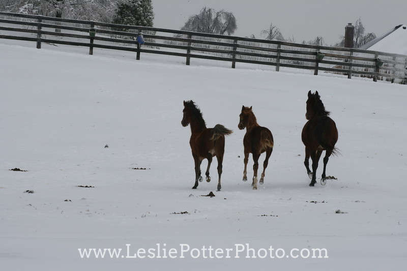 Horses Running in Snow