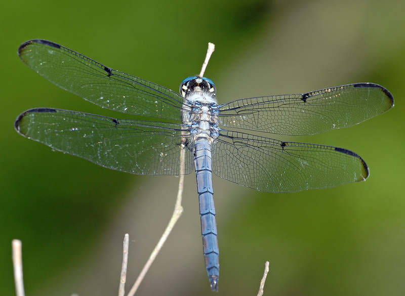 Libellula vibrans (Great Blue Skimmer), SC - male