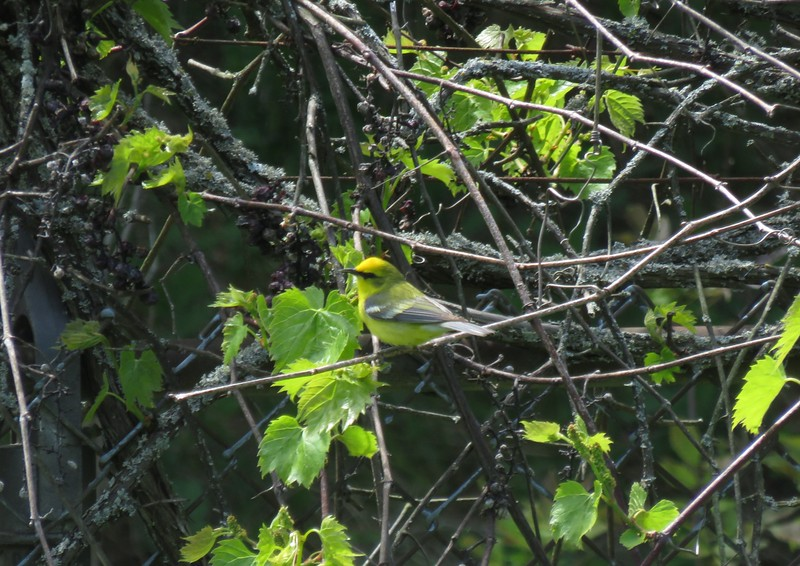 Blue-winged Warbler in Area 3 - Photo by Katsu Sakuma