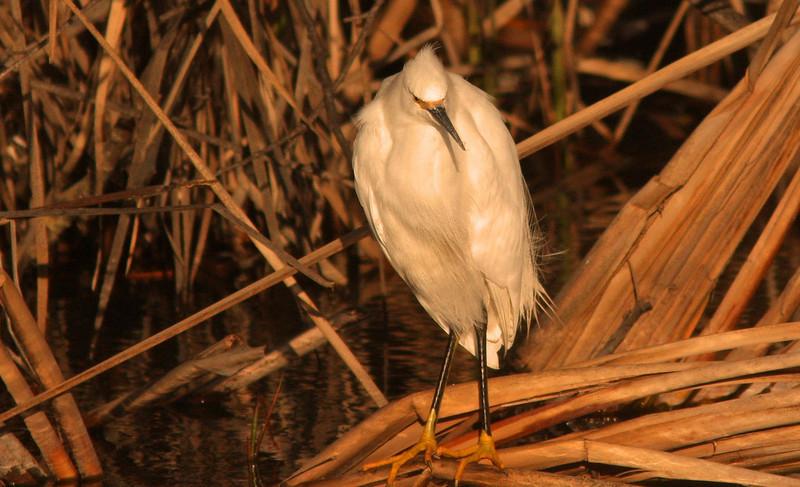 Snowy Egret in Reeds (Shollenberger)