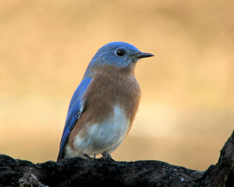 bluebird_7255.jpg
