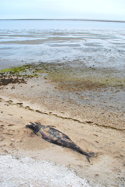 dead young whale calf