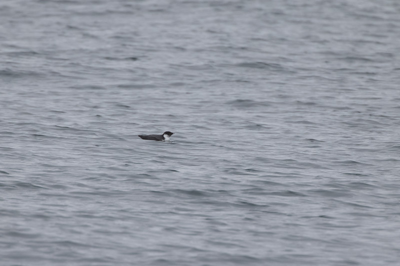 Ancient Murrelet off Stoney Point Lake Superior Lake County St. Louis County MN  IMGC7976.jpg
