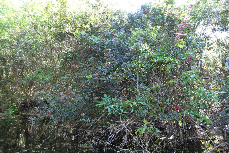 some invasive plant in the Everglades, but has pretty red berries