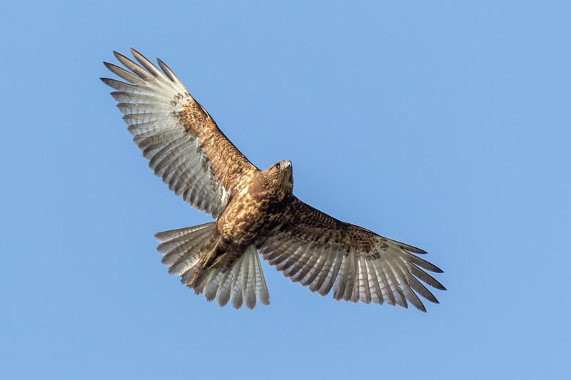 Hawaiian Hawk
