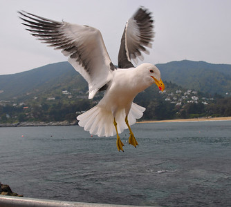 Chile Sea Gulls Place holder