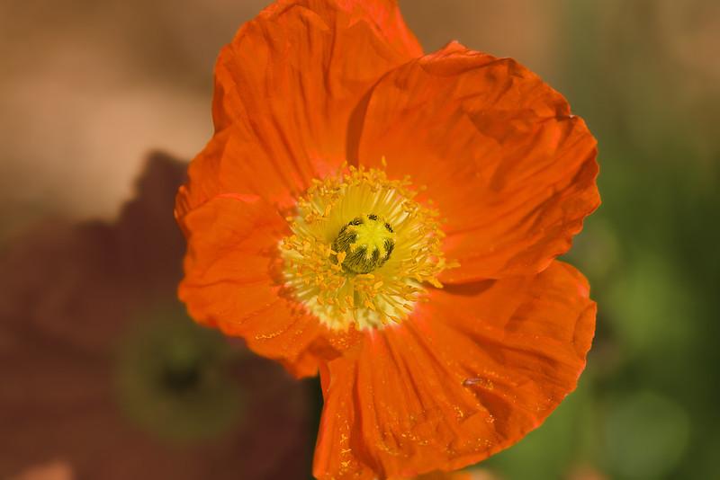 poppy in yard copy.jpg