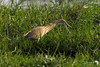 Squacco Heron on the Chobe