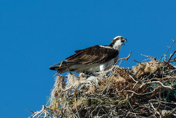 Birds of Prey (Falconiformes)
