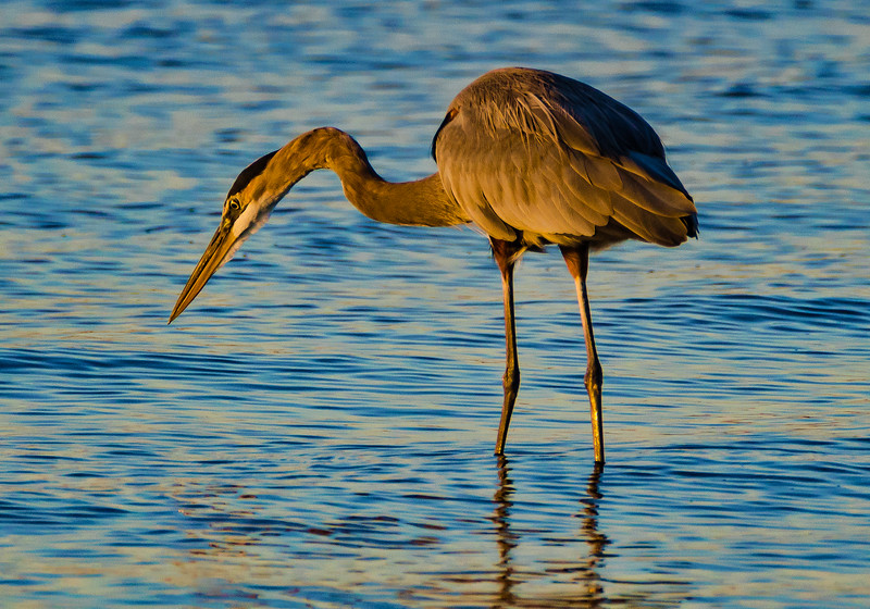 Blue Heron 1 102916 (1 of 1).jpg