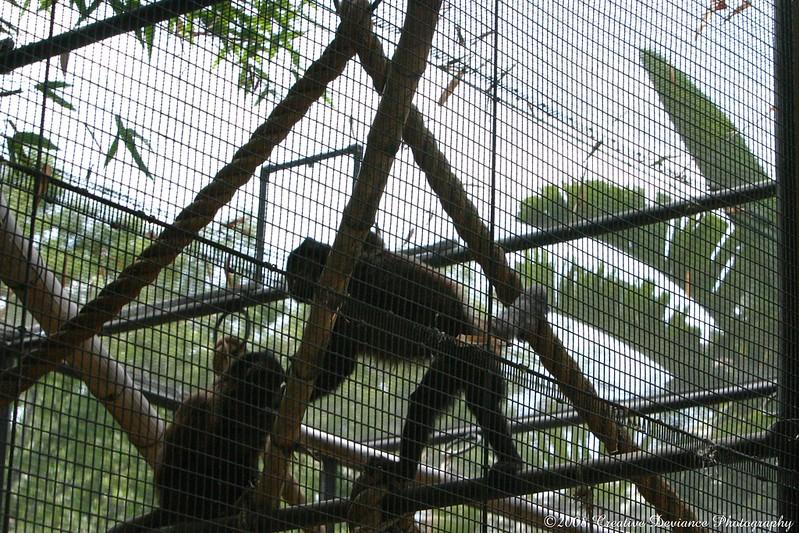 crested capuchin1.jpg