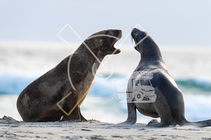 Harem of female New Zealand Sea Lions playful fighting