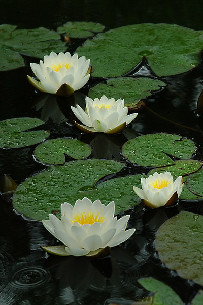 Waterlilies in the Rain
