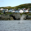 Humpback Whales, St. Anthony, Newfoundland - 5