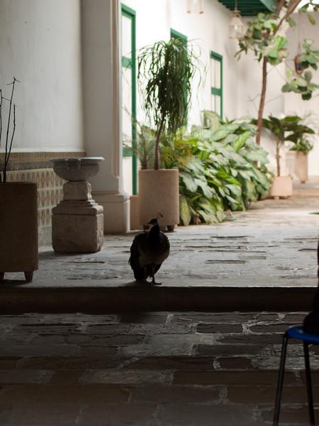 This peacock hangs around the Arab House next to the Al Medina restaurant.