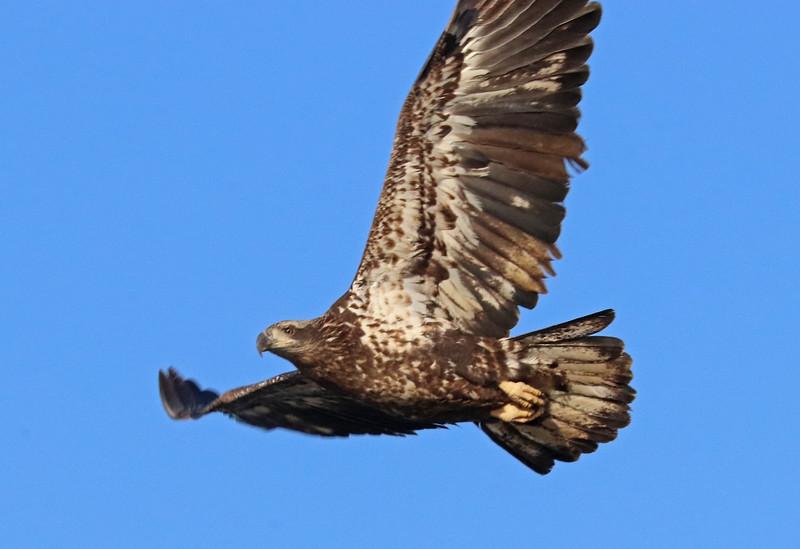 Bald eagle 75