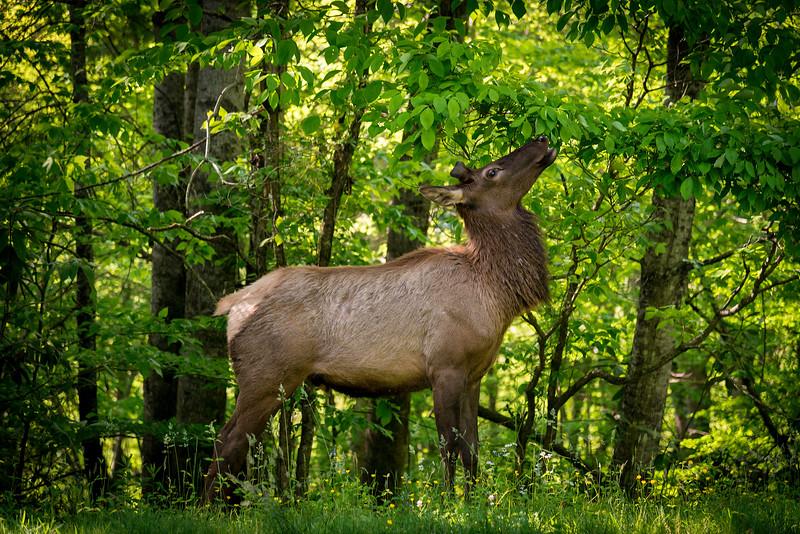 Elk eating.jpg