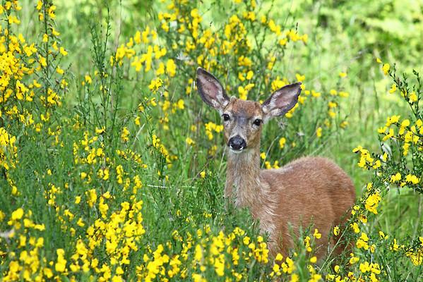 Deer/Elk/Goats