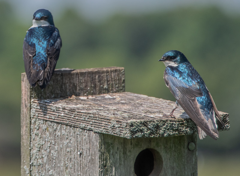 Tree Swallows Perched On Bluebird House