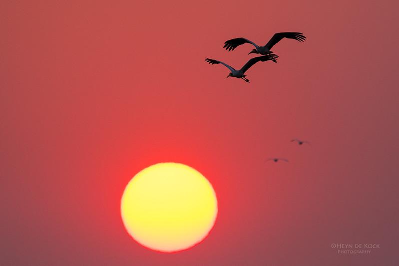 Yellow-billed Stork, Chobe River, NAM, Oct 2016-.jpg