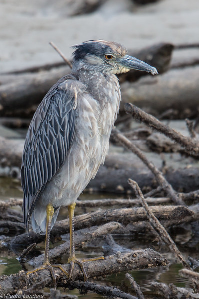 Yellow-Crowned Night-Heron 03
