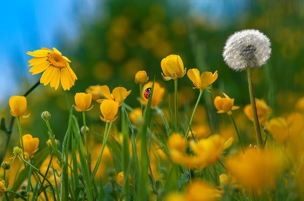 Fine Art natuur foto van een veld met boterbloemen en paardebloemen met een lieveheersbeestje en een pluizenbol.