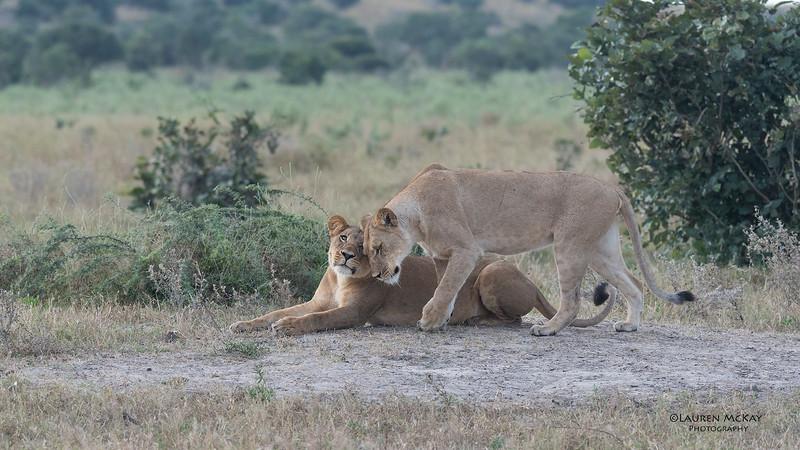 African Lion, Savuti, Chobe NP, Botswana, May 2017-32.jpg