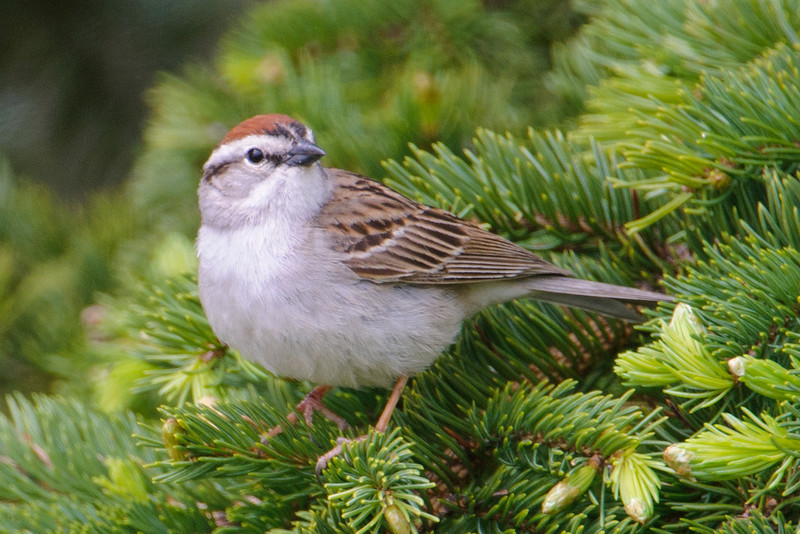 Sparrow - Chipping - Flood Bay Wayside - Lake County - MN - 02