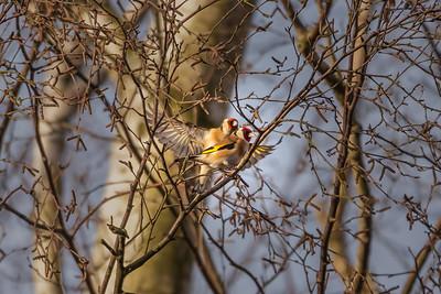 2020 - Broadwater Warren February 005 gold finch