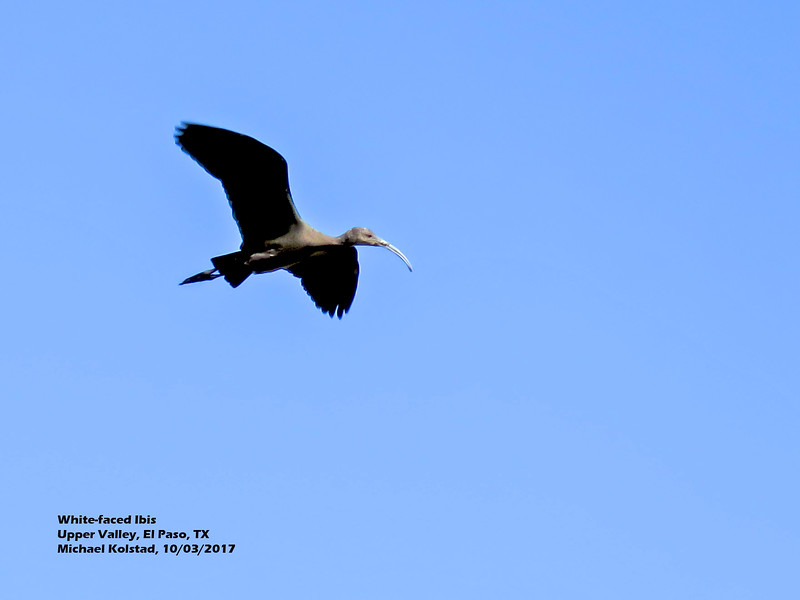 IMG_7435 3T White-faced Ibis flying our house.jpg