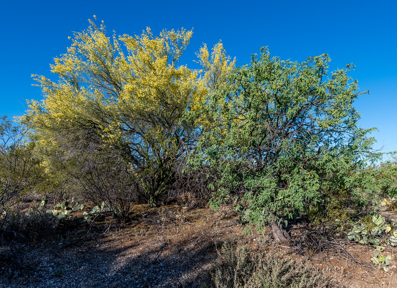 BR - Blooming Palo Verde and Mesquite