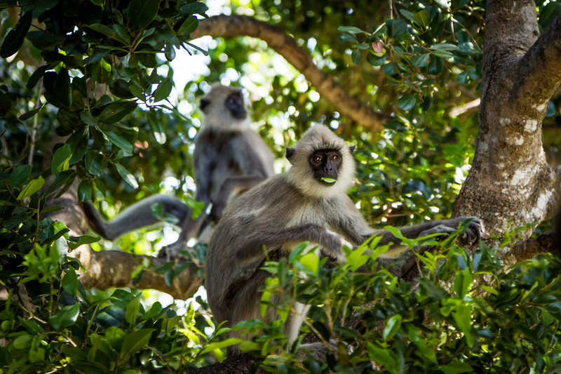 Grey Langur / Hanuman Langur, (Semnopithecus entellus) feeding, Yalla National Park, Sri Lanka