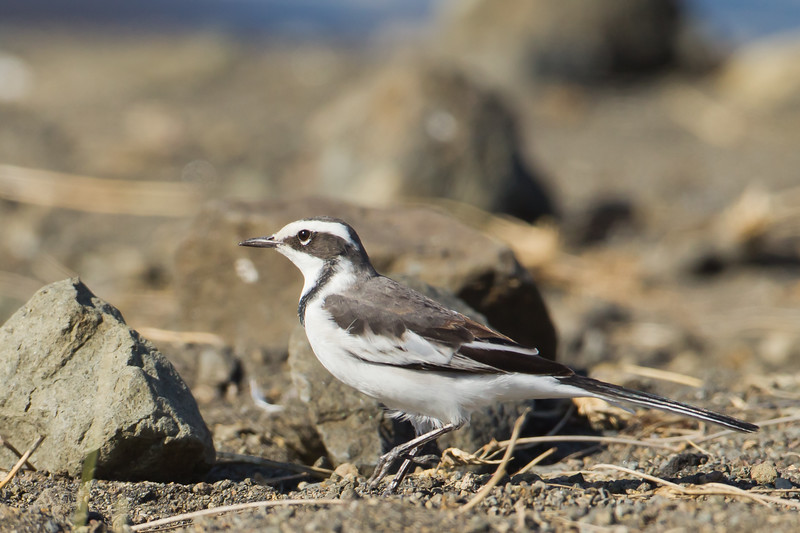 African Pied Wagtail - Arusha National Park, Tanzania