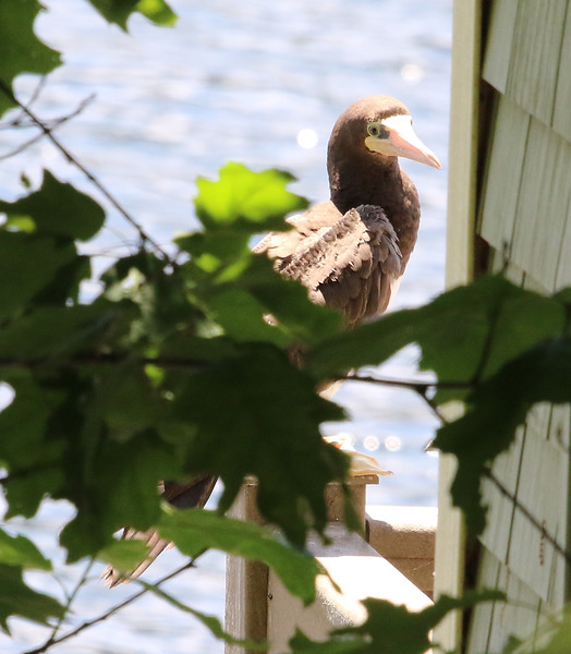 brown footed booby 6.jpg