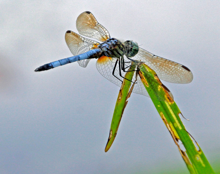 Blue Dasher 19