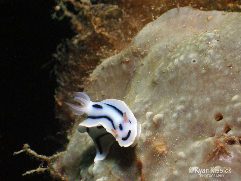 Small nudibranch crawling over coral