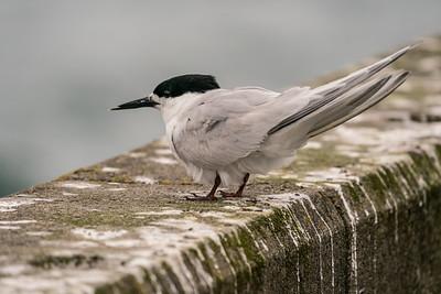 White-fronted Tern [Sterna striata]