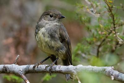 South Island Robins (Toutouwai)