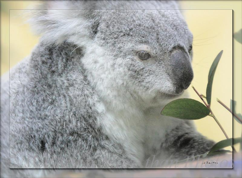 Koala I'm moving - just very slowly