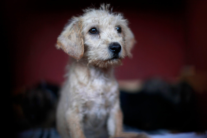 . A puppy that was caught near the site of four fatal maulings sits inside a cage at a city dog pound in Mexico City,Wednesday, Jan. 9, 2013. Authorities have captured dozens of dogs near the scene of the attacks in the capital\'s poor Iztapalapa district, but rather than calm residents, photos of the forlorn dogs brought a wave of sympathy for the animals, doubts about their involvement in the killings and debate about government handling of the stray dog problem. (AP Photo/Dario Lopez-Mills)