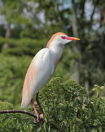 Storks, Egrets, Herons