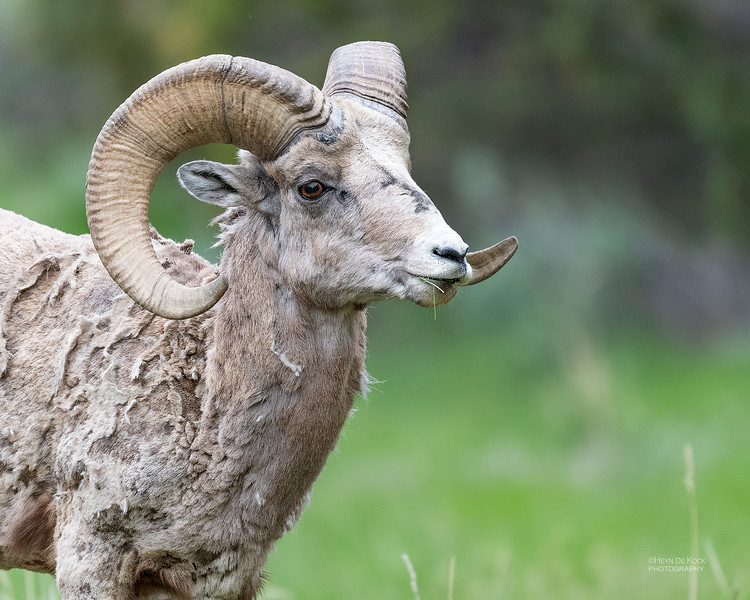Bighorn Sheep, Yellowstone NP, WY, USA May 2018-1.jpg