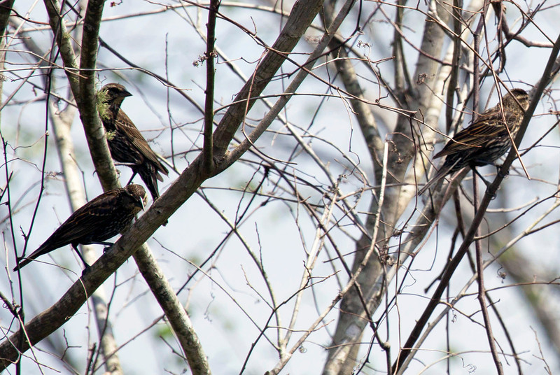 Three juvenile red-winged blackbirds in a tree by the reservoir.