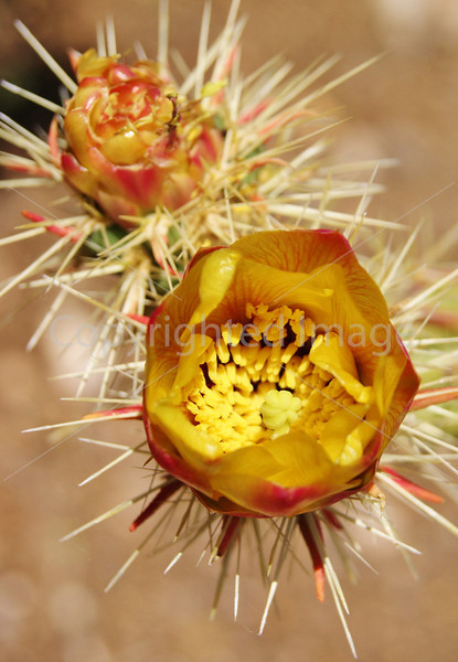 Sale 72 Yellow and Orange Prickly Cactus Flowers 2.JPG