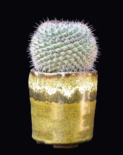 Mammillaria tescopacensis var. rubraflora