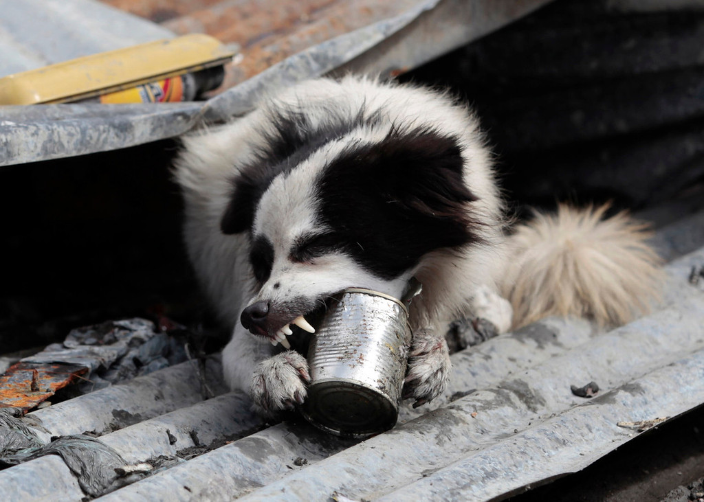 . A dog takes a bite on an empty food can as it searches for food in typhoon-hit Tacloban city, Leyte province, central Philippines on Wednesday, Nov. 13, 2013. Typhoon Haiyan, one of the strongest storms on record, slammed into six central Philippine islands on Friday leaving a wide swath of destruction. (AP Photo/Aaron Favila)