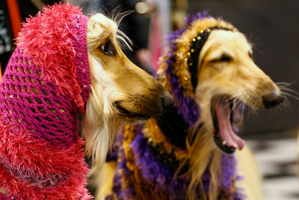 . Afghan Hounds wear hoods during the first day of the Crufts Dog Show in Birmingham, central England March 7, 2013. REUTERS/Darren Staples   (BRITAIN - Tags: ANIMALS SOCIETY)