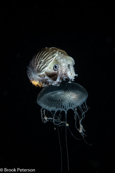 Paper Nautilus on a Jelly Fish