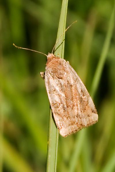 Dart-Catocaline-(Cryptocala acadiensis)- Dunning Lake - Itasca County, MN