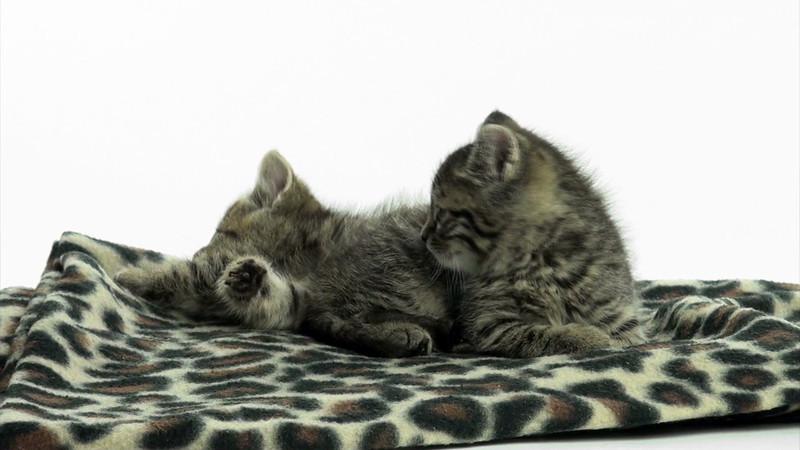kitten_tabby_2_09.mov